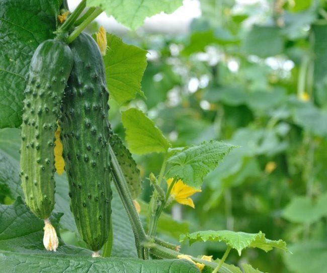 Два длинных темно-зеленых огурца на плетях куста в тепличных условиях