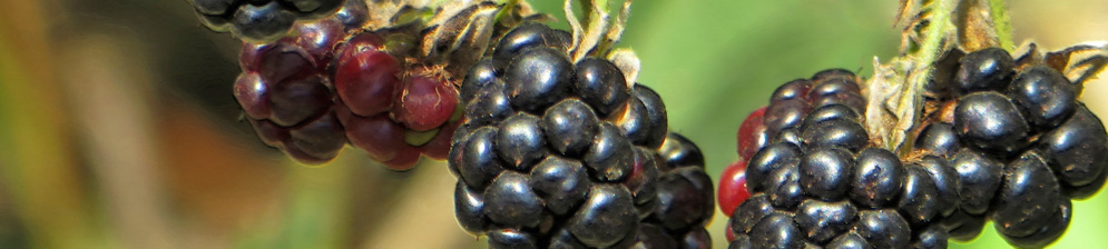 Созревающие и спелые плоды на ежевичном кусте