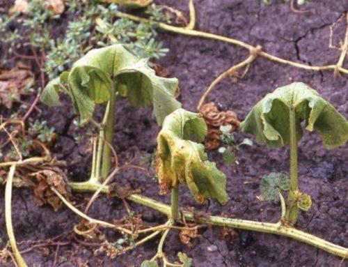 Высохшие листья огурца при фузариозном увядании
