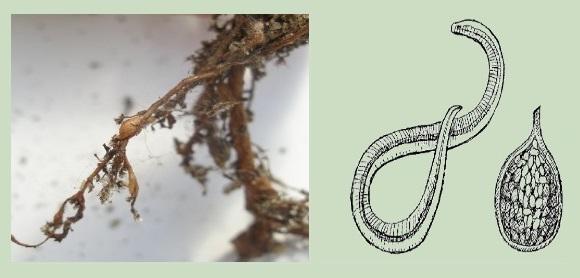 Внешний вид и схематичное изображение галловой нематоды