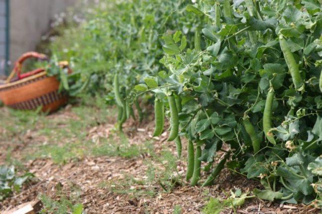 Выращивание гороха в открытом грунте на месте будущей посадки огурцов