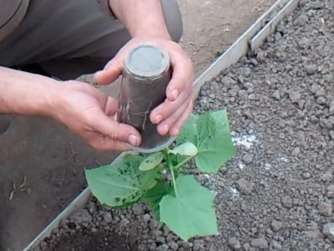 Извлечение рассады огурца из пластикового стаканчика при пересадки в открытый грунт