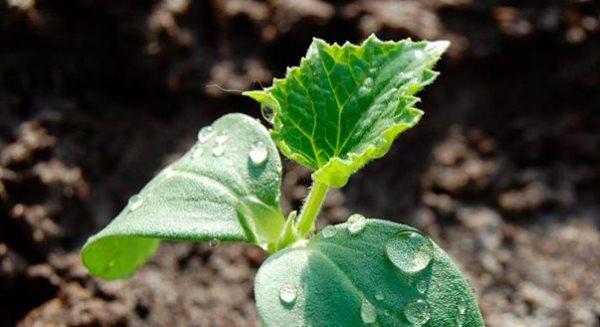 Капельки питательного раствора на листочках огуречной рассады