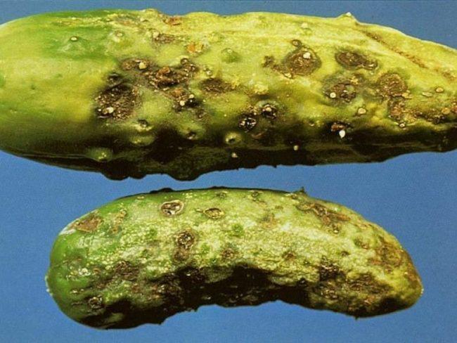 Признаки оливковой пятнистости на больных плодах огурцов