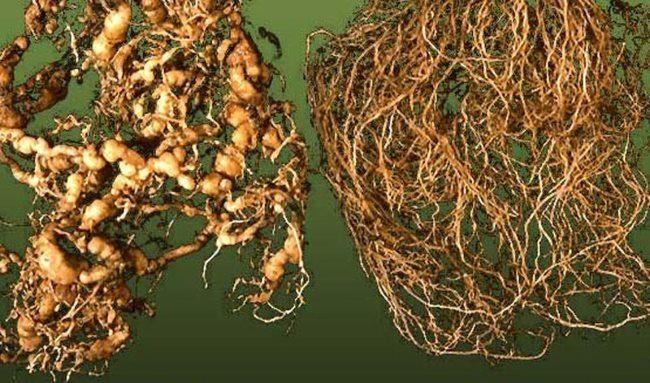 Фото корневища огурцов с нематодой в виде круглых наростов