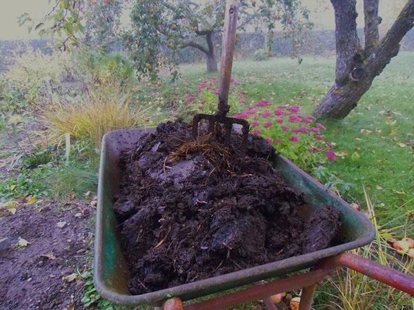 Садовая тачка со свежим коровьим навозом для подкорки огурцов