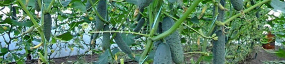 Куст огурца без нижних листьев после формирования