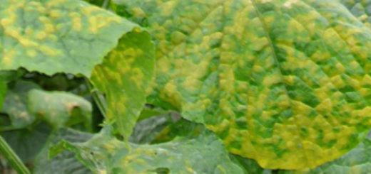 Листья огурца поражённые ложной мучнистой росой вблизи