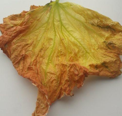 Сухой лист огурца после поражения растения черной стеблевой гнилью