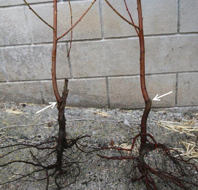 Места прививок на саженцах сливовых деревьев из фермерского питомника