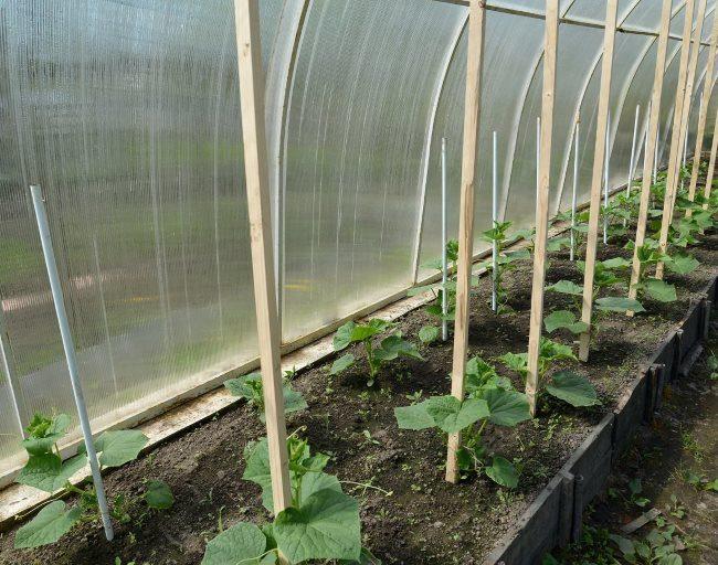Деревянные колья в теплице из поликарбоната с высаженной рассадой огурцов