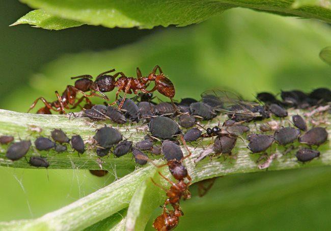 Черная тля и коричневые муравьи на стебле огурца в теплице