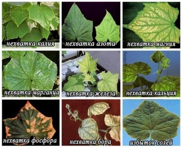Признаки недостатка различных питательных веществ на листья огурцов