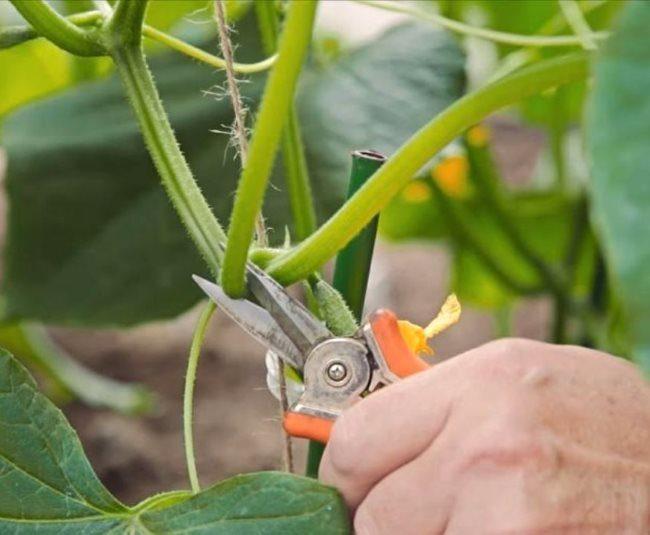 Обрезка садовым секатором бокового побега на кусте огурца в теплице
