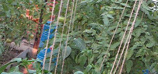Огурцы помидоры и перец при совместной посадке в теплице