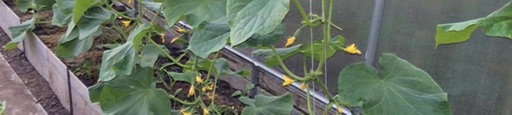 Завязи огурцов и большие листья на стебле в теплице из поликарбоната