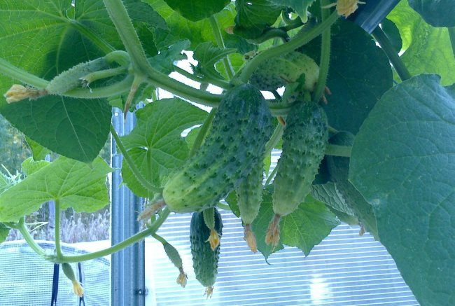 Плети огурцов с плодами гибридного сорта Апогей F1 в теплице из поликарбоната