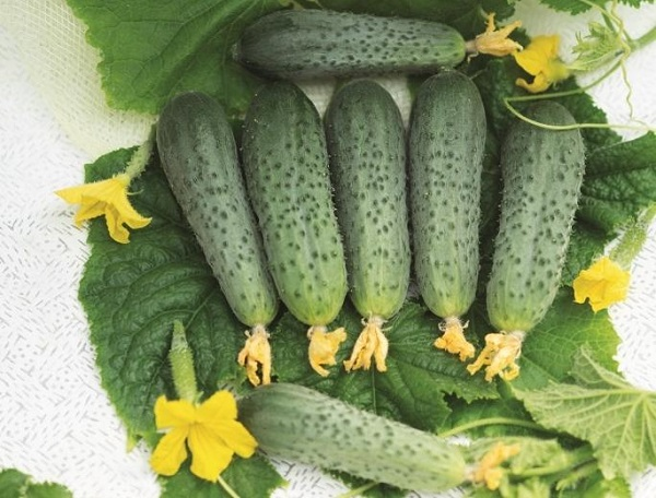 Внешний вид темно-зеленых плодов огурцов раннего сорта Форсаж