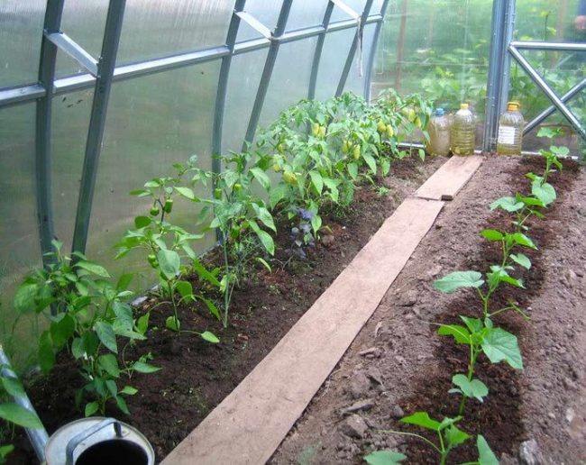 Выращивание огурцов и перца в одной теплице из поликарбоната