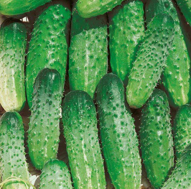 Свежие хрустящие огурчики гибридного сорта Стрекоза из личной теплицы