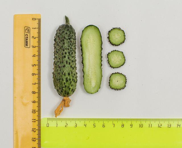 Размеры и внешний вид мякоти плодов гибридных огурцов Темп из теплицы