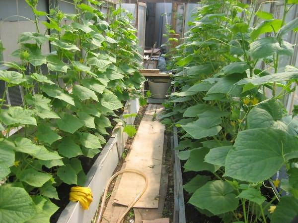 Кусты огурцов в самодельной теплице из поликарбоната в середине мая