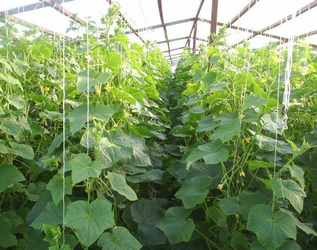 Выращивание огурцов в один стебель в промышленной теплице из поликарбоната