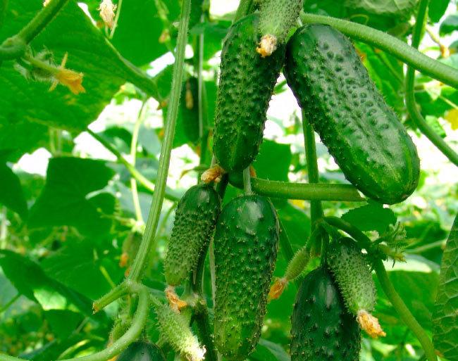 Зеленые плоды огурцов с небольшими бугорками на плетях в теплице
