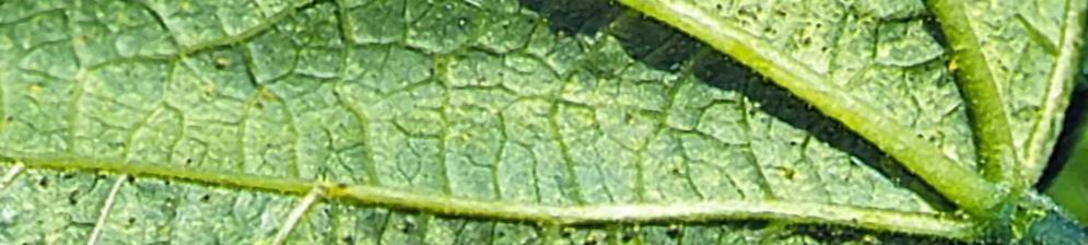 Особи разных возрастов паутинного клеща на листе огурца