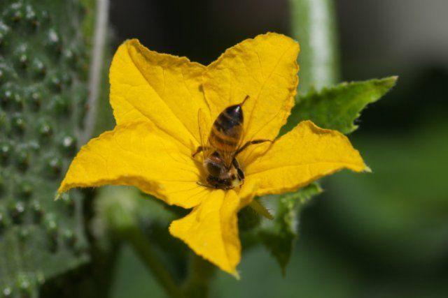 Опыление огуречного цветка пчелой в солнечную погоду