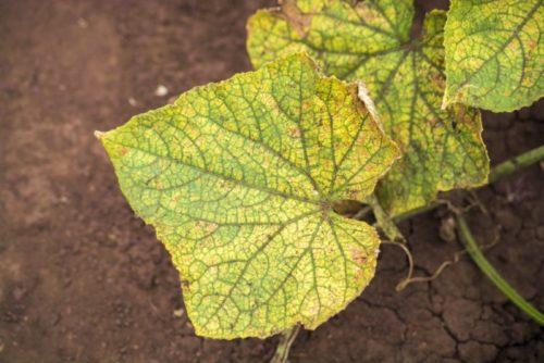 Пожелтение листа огурца при ложной мучнистой росе