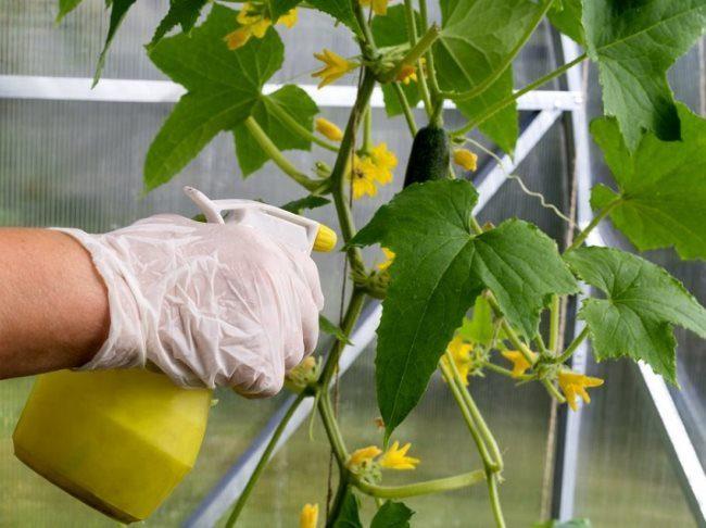 Опрыскивание огурцов во время цветения в теплице стимулятором плодообразования