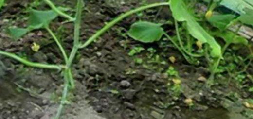 Внесение корневой подкормки для огурцов из лейки