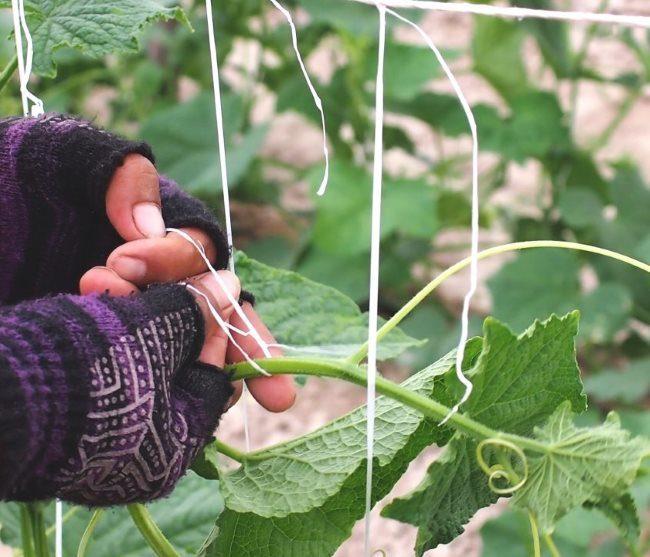 Подвязывание толстого стебля огурца к веревочной опоре в теплице