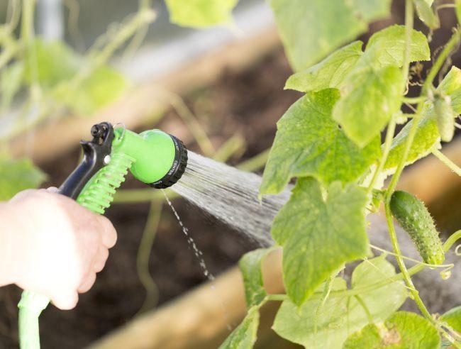 Неправильный полив огурцов холодной водой из распылителя в открытом грунте