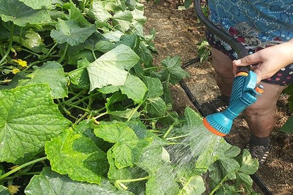 Неправильный полив огурцов в открытом грунте холодной водой из распылителя