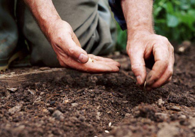 Посадка семян огурцов семенами в открытый грунт после весенних заморозков