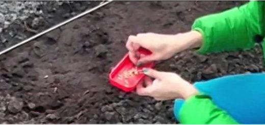 Посадка в открытый грунт семенами огурцов
