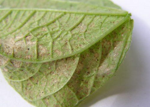 Бурые пятна на листе огурца от паутинного клеща