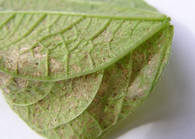 уничтожение паутинного клеща на огурцах в теплице