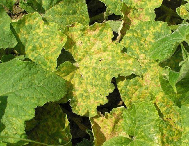 Пожелтевшие листья огурцов при заболевании ложной мучнистой росой