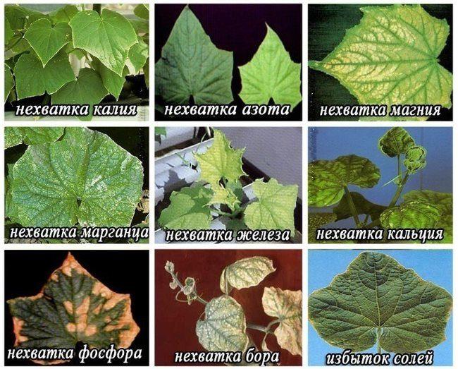 Симптомы дефицита различных микроэлементов на огуречных листьях