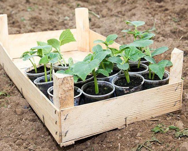 Деревянный ящик с рассадой огурцов в одноразовых стаканчиках перед высадкой в грунт