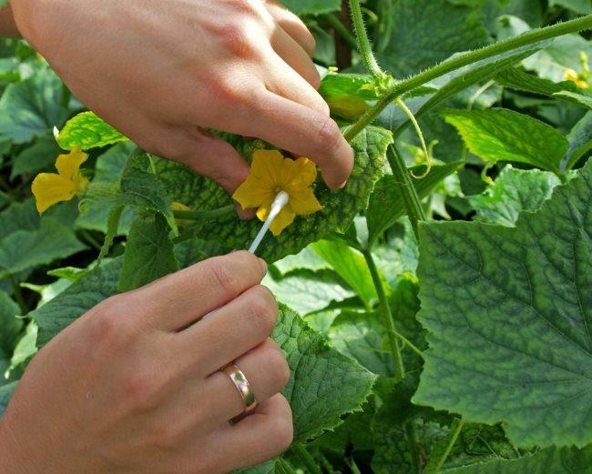 Опыление цветков огурца вручную с помощью ватной палочки