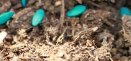 Укладка семян огурцов при посадке в открытый грунт в канавку