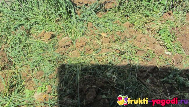 Перекопка горчицы и овса осенью на участке