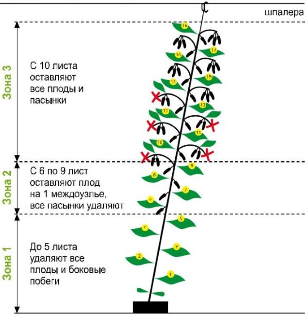 Схема формирования куста огурца в один стебель в теплице с высоким потолком