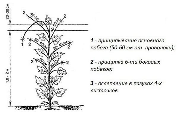 Схема прищипывания огуречного куста при выращивании в тепличных условиях