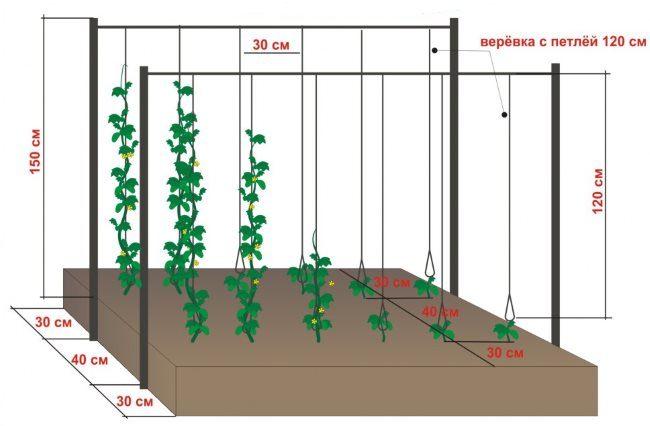 Схема вертикального выращивания огурцов на шпалере из проволоки