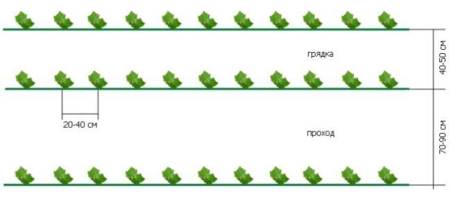 Схема высадки семян огурцов на грядку в открытом грунте